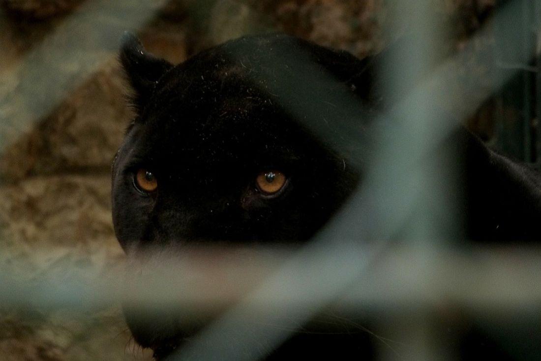 Инцидент проверяетСК: ВПодмосковье мужчину насмерть загрызла пантера