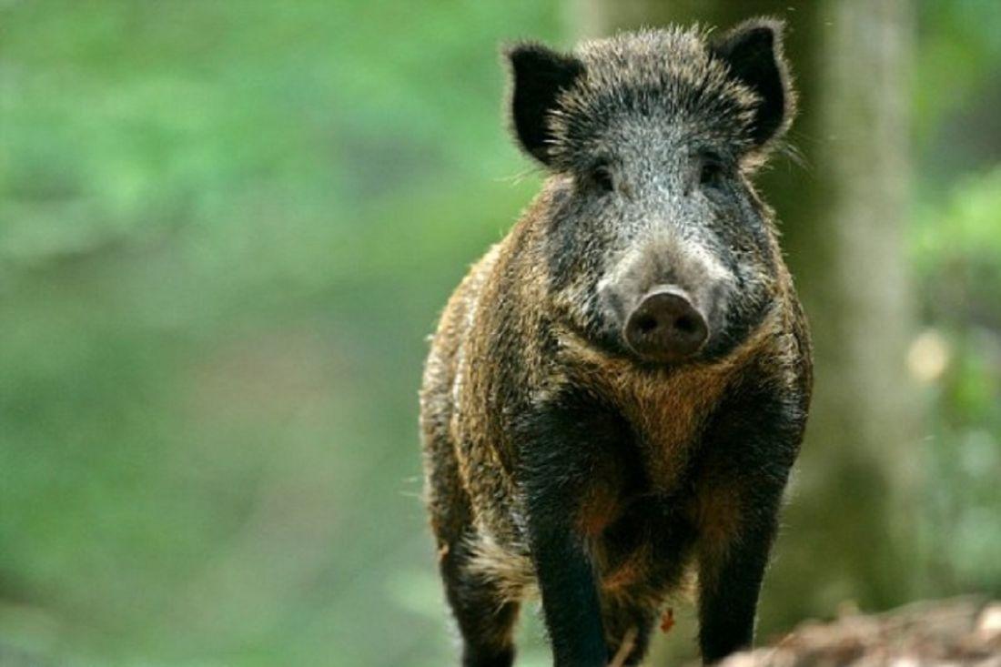 ВПачелмском районе охотники нелегально убили 2-х кабанов