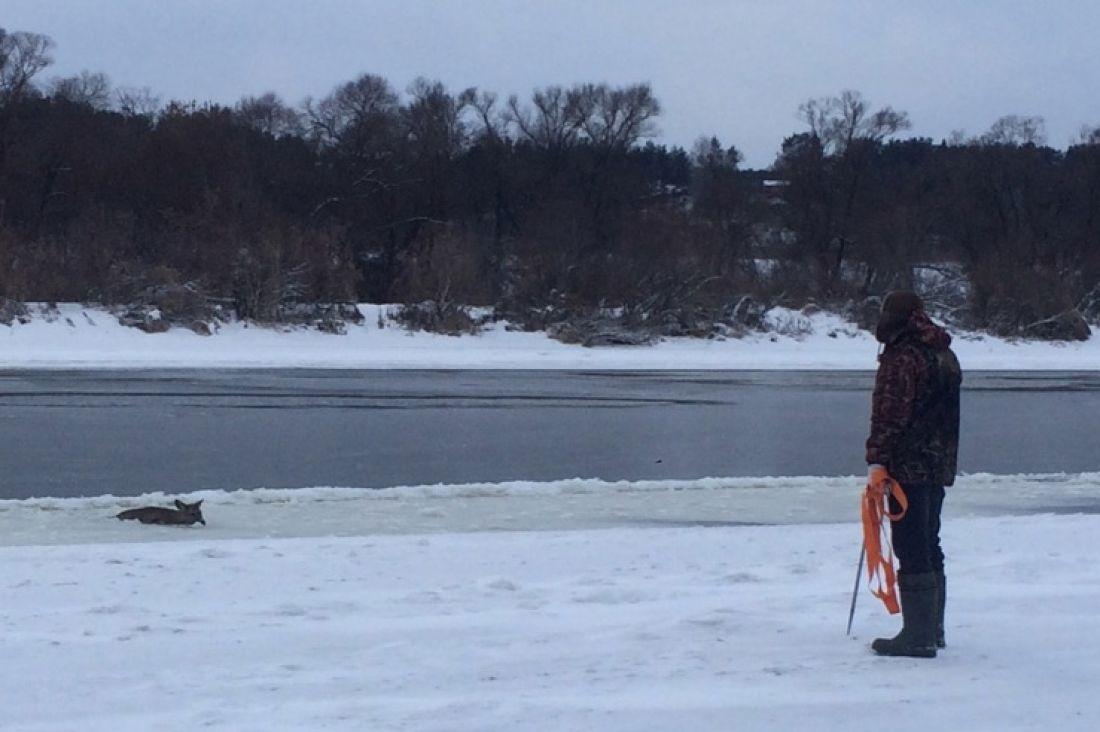Под Тулой работники МЧС спасли застрявшую взамерзшей реке косулю