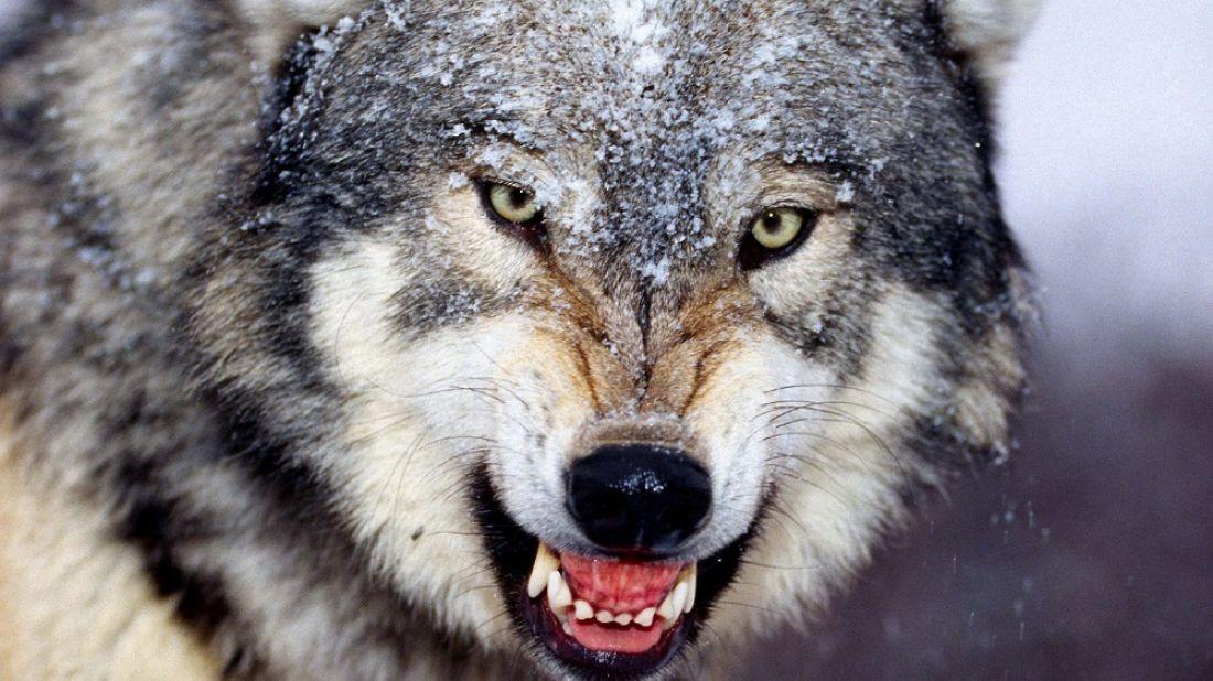 Бешеный волк забрел вдеревню под Смоленском: погибли 26 собак