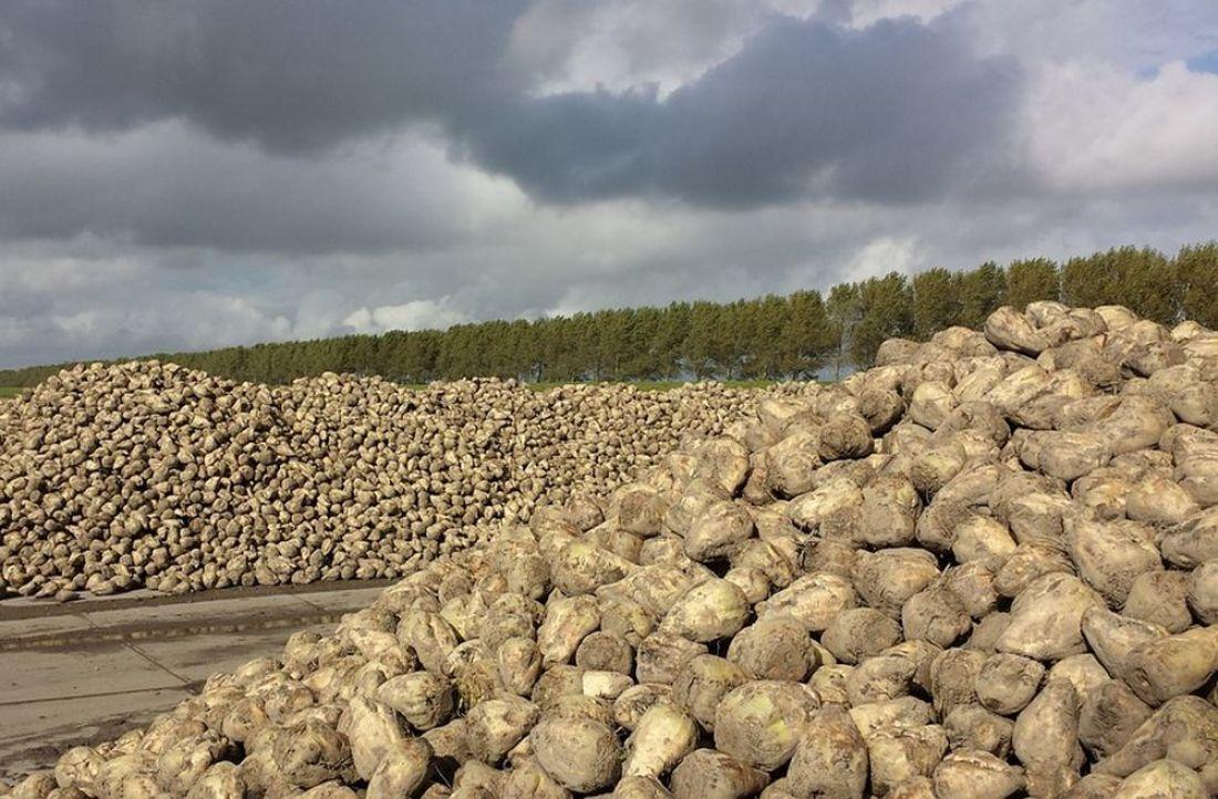 Липецкие аграрии собрали неменее 2 млн тонн сладкой свеклы