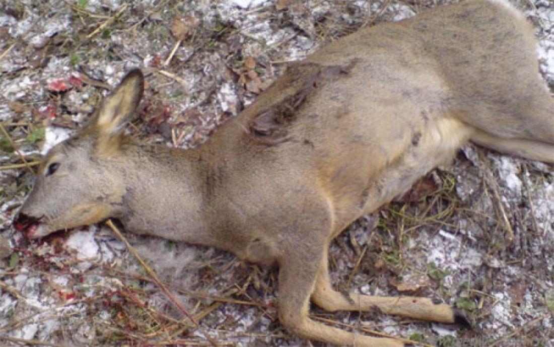 Охотники убили косулю, перепутав еескабаном