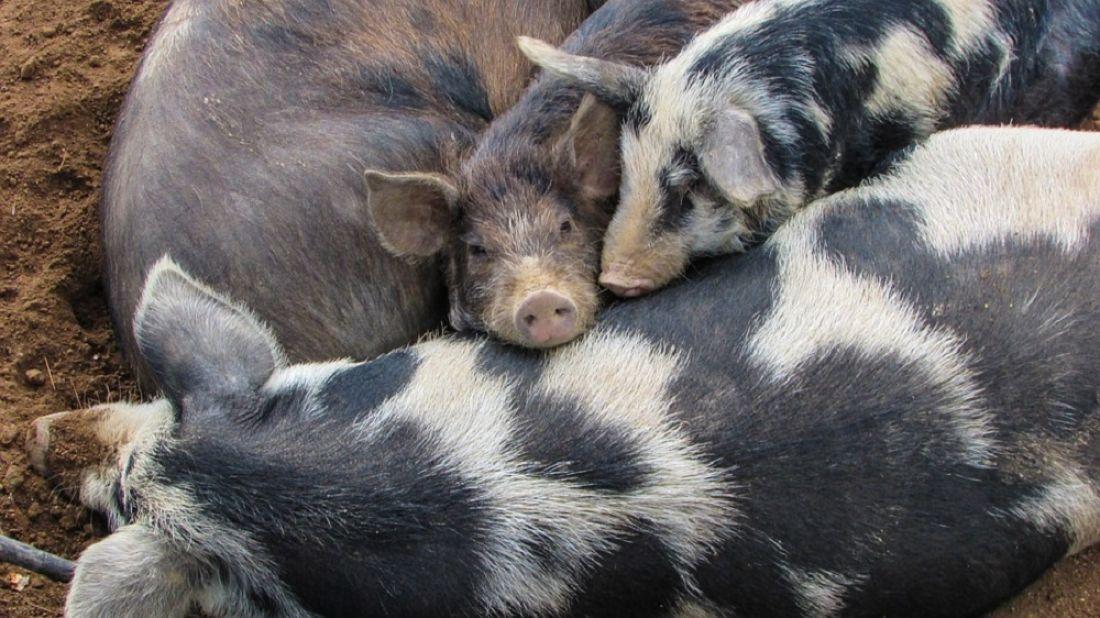 ВЯпонии из-за разбежавшихся свиней перекрыли автомагистраль