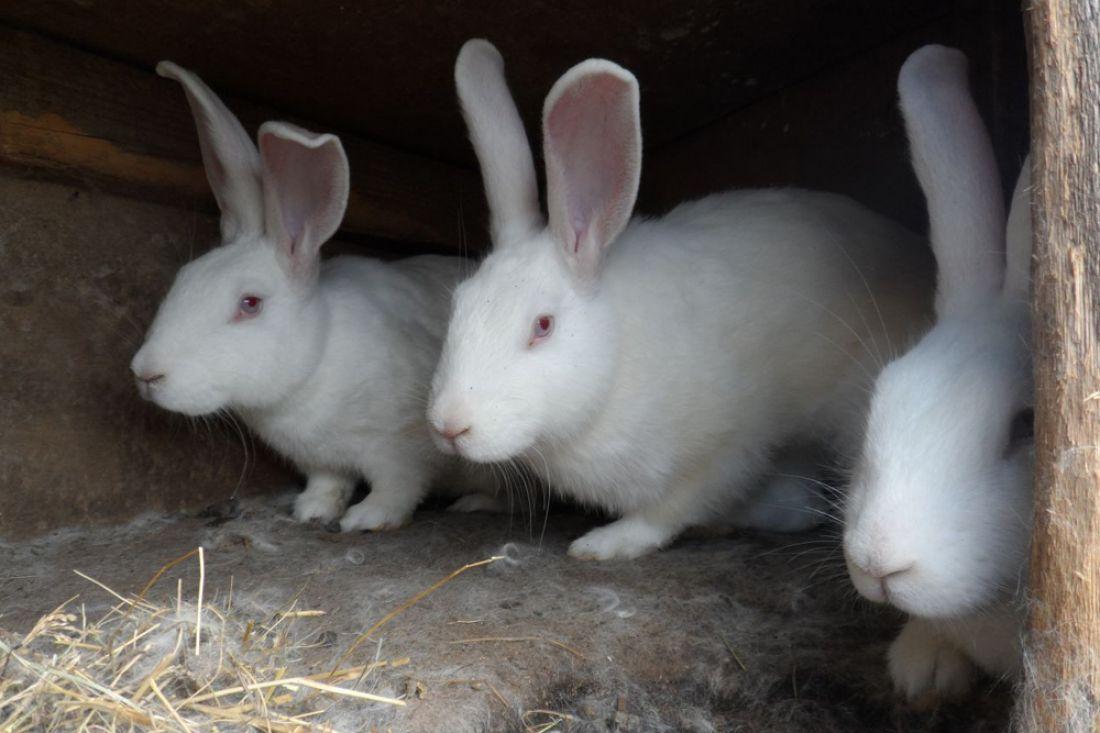 ВИванырс женщина украла изсарая сельчанина троих кроликов