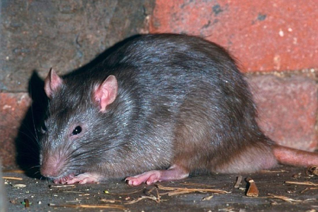 ВЮАР трехмесячную девочку съели крысы, пока мать развлекалась вбаре
