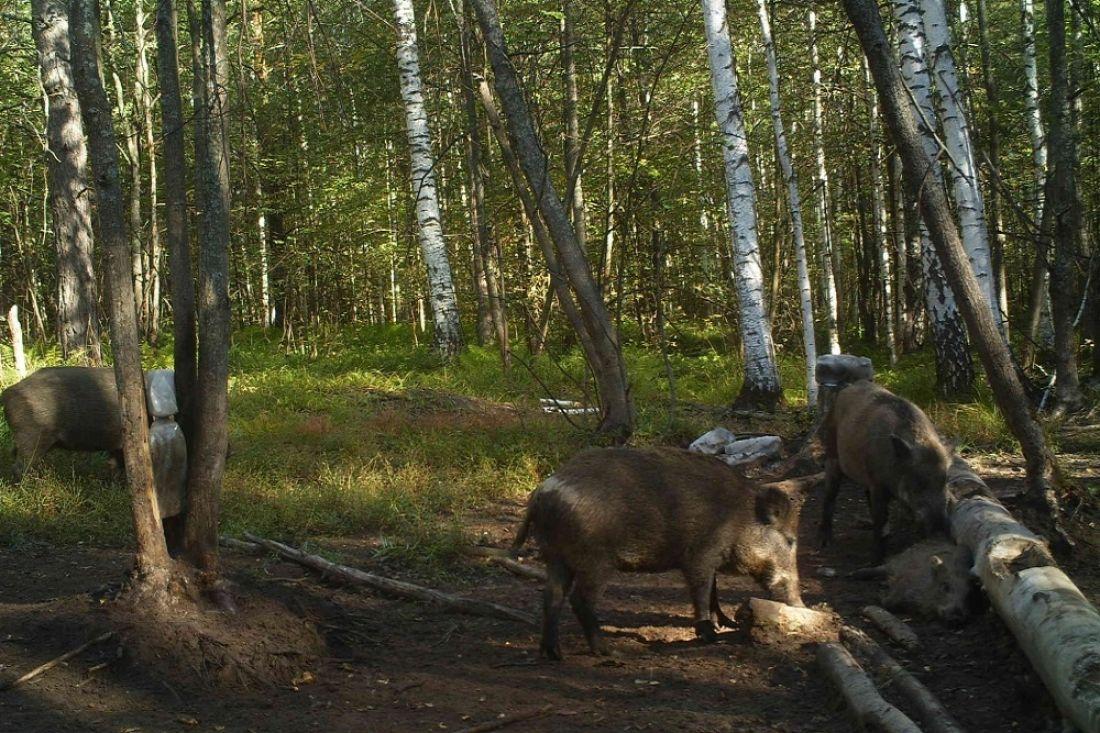 ВБелинском районе четверо браконьеров охотились накабана
