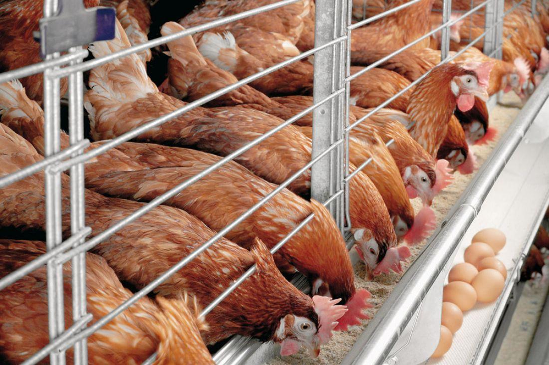 Производство мяса птицы возросло на3,2% — В РФ