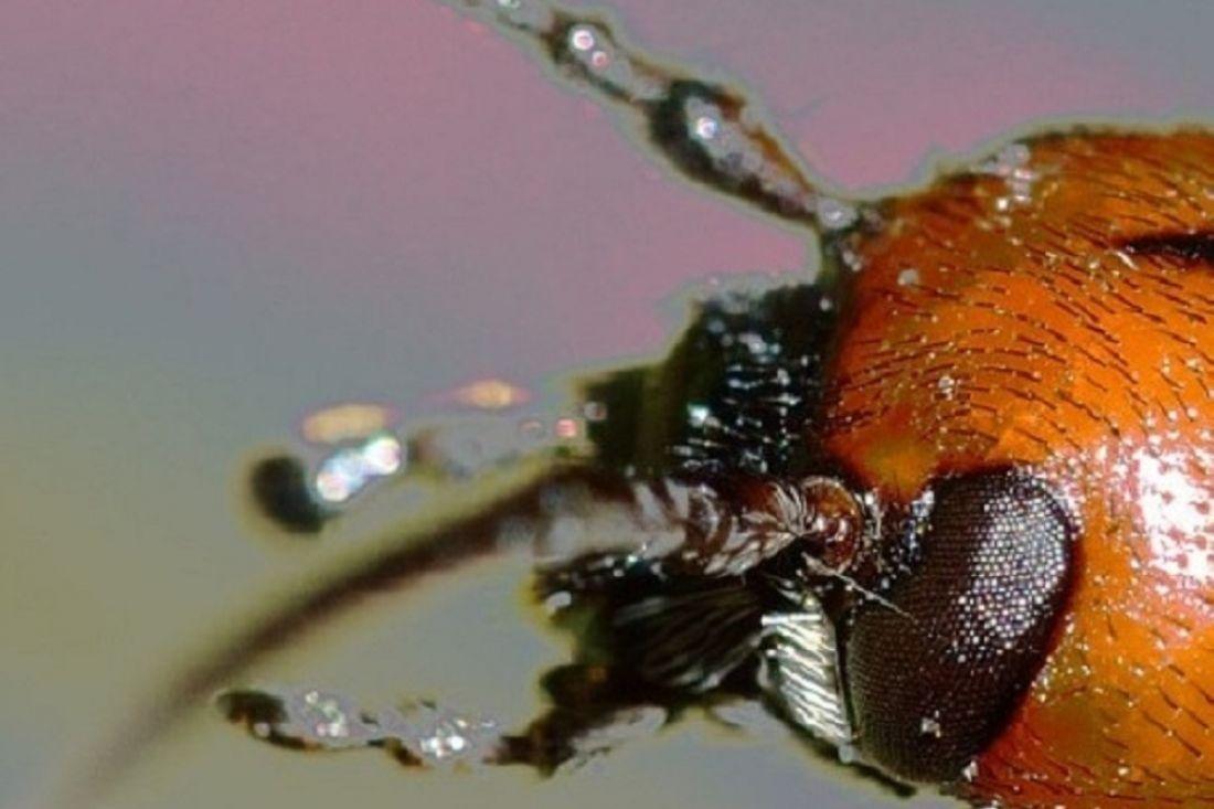 Найдены насекомые, которые числились вымершими неменее 100 лет