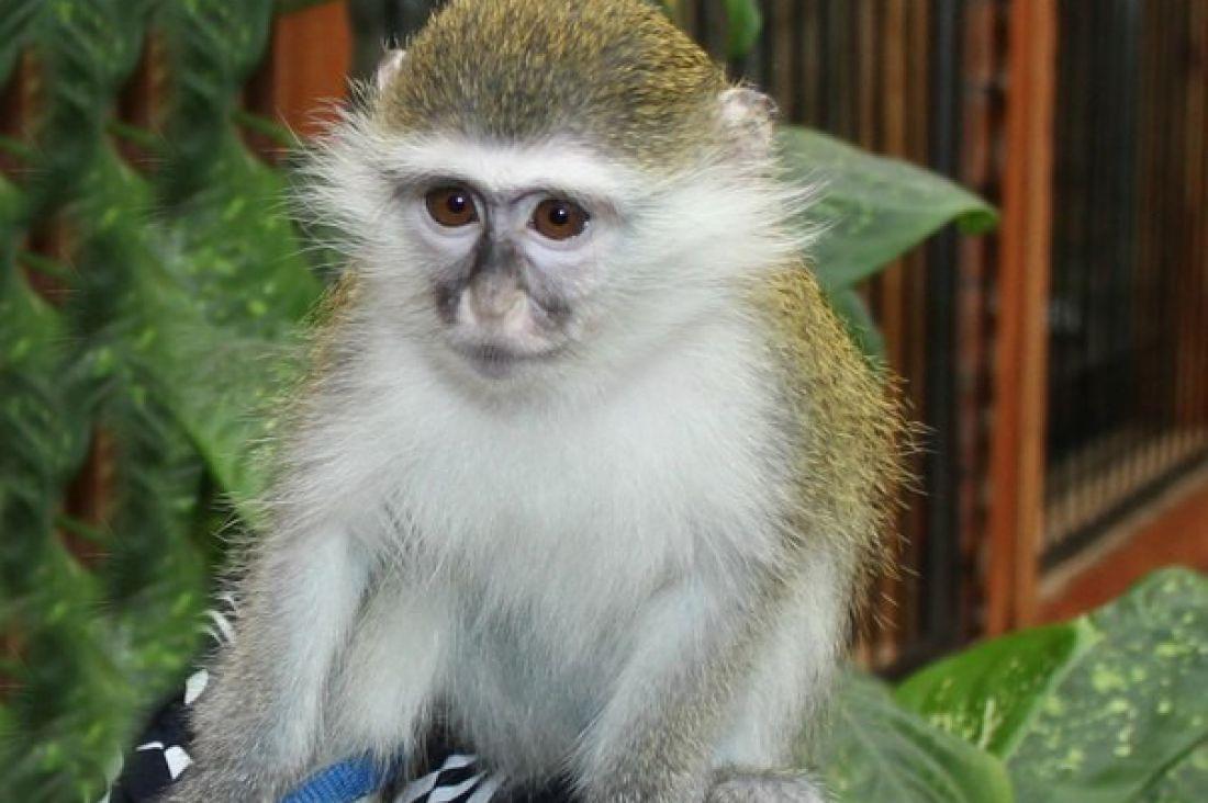 Украденная изворонежского зоопарка мартышка была возвращена обратно