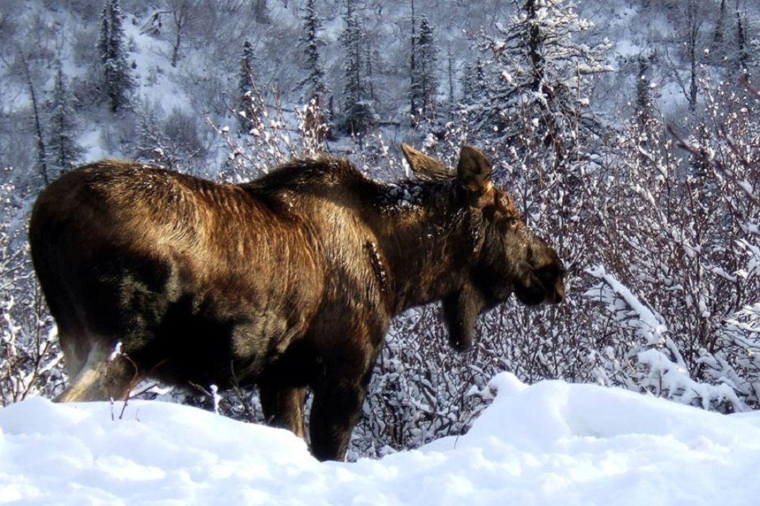 ВПензенской области ищут браконьеров наснегоходах, убивших лося