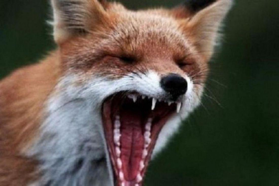 ВПензенской области бешеная лиса укусила человека