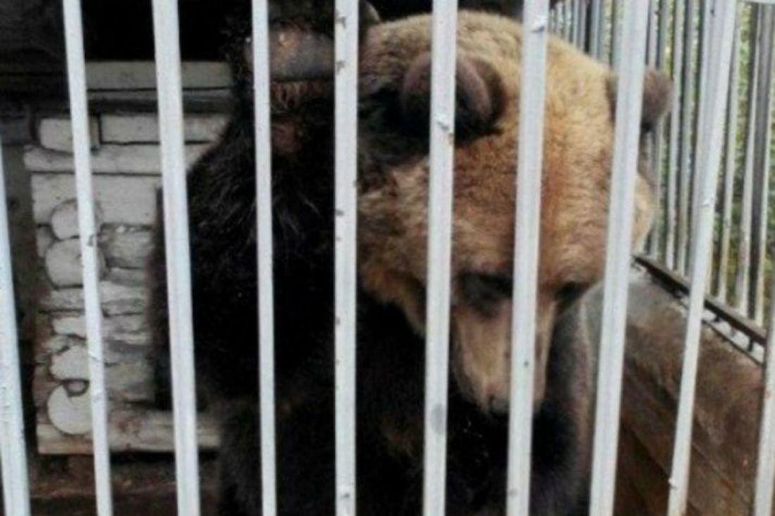 Пермяки собрали деньги ивыкупили медведицу ухозяев придорожного кафе