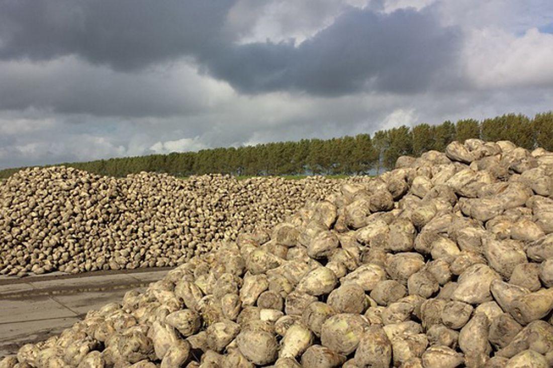 Липецкие свекловоды собрали уже 2,5 млн. тонн сладкой свеклы