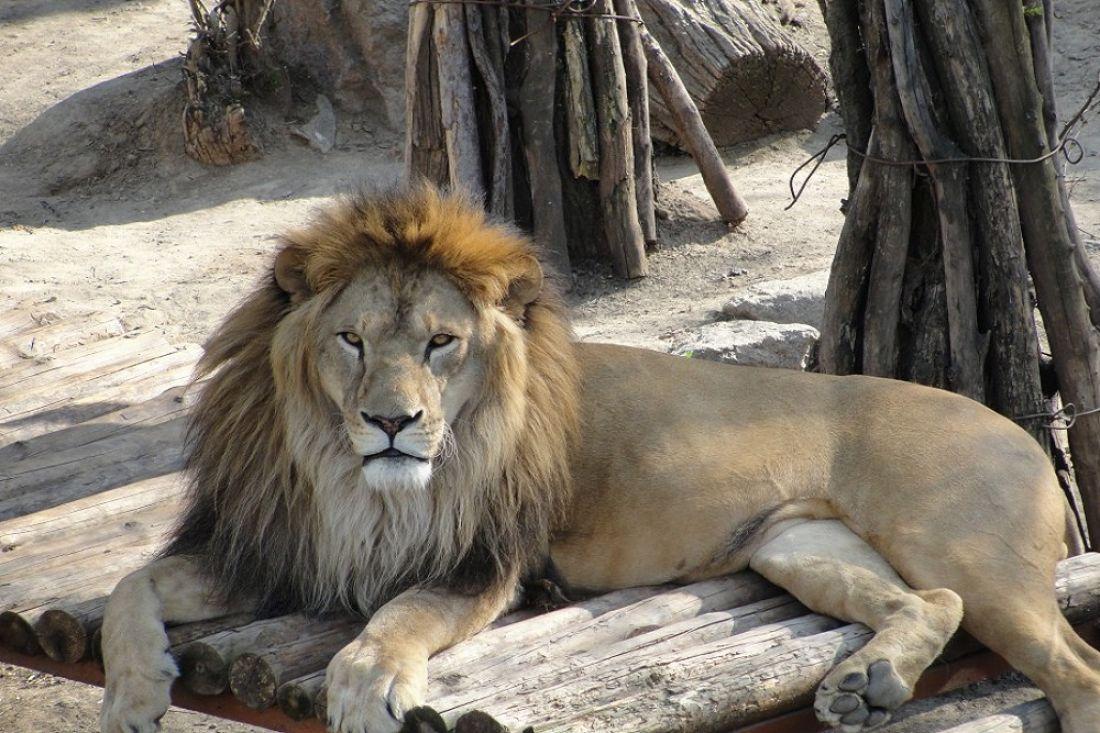 Коллекция Воронежского зоопарка пополнилась двухлетним львом