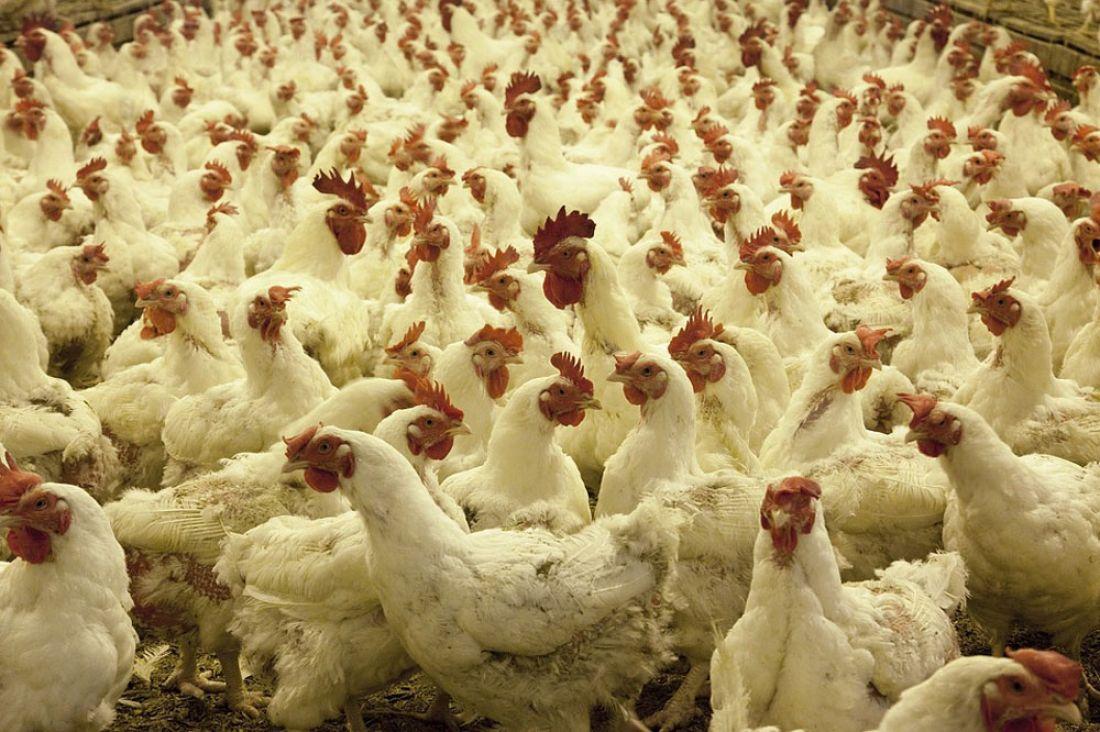 ВАстраханской области из-за вспышки птичьего гриппа уничтожили 360 тыс. кур