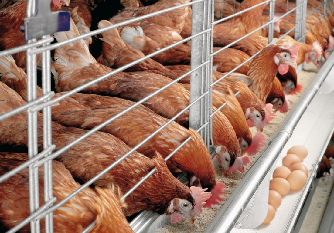 Ставрополье возглавило рейтинг птицеводства Российской Федерации  по результатам  11 месяцев