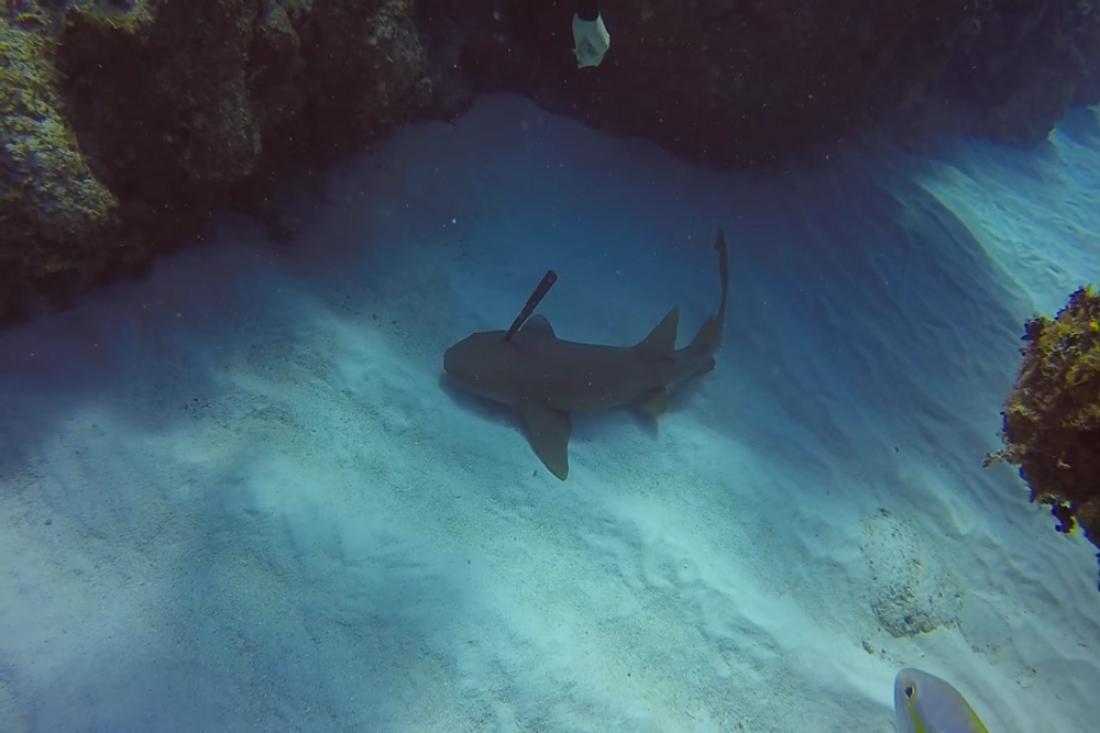Появился ролик, как человек извлек гарпун изголовы акулы